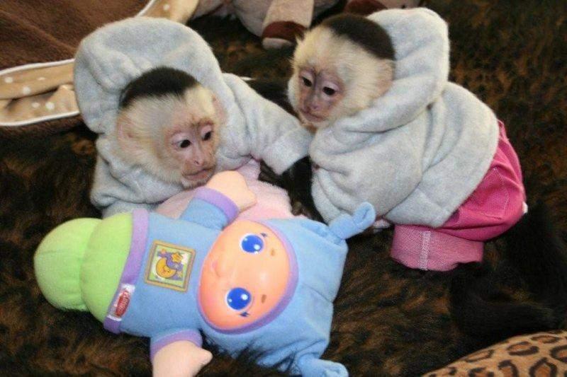 Valentines day baby capuchin monkeys - 60.5KB