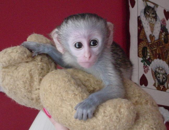 baby capuchin monkey for free adoption - 39.9KB