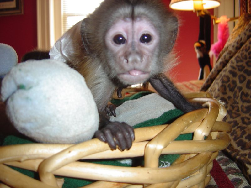baby capuchin monkey for free adoption and for sale