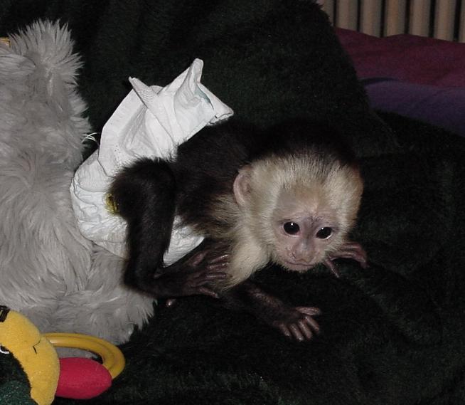 sweet baby spider monkeys for adoption