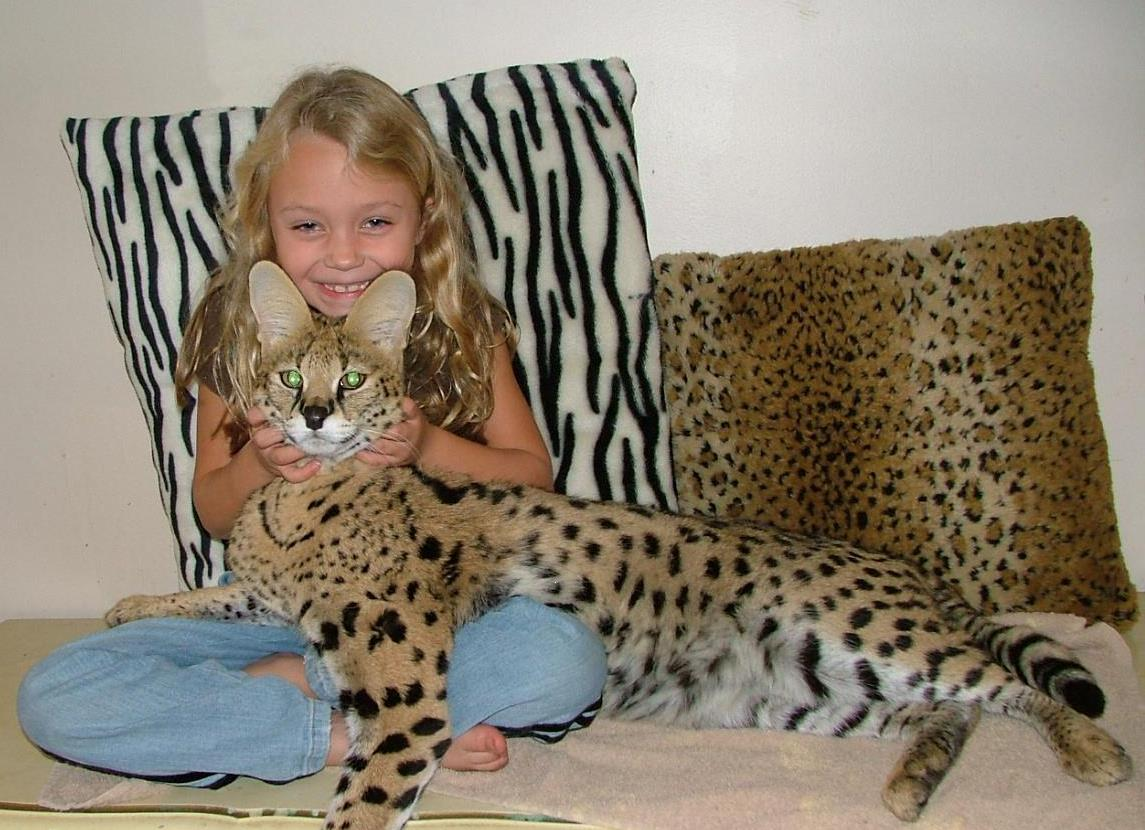 Margay, Serval, Savannah and Bengal Tiger for sale